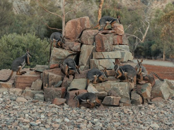 Rock Wallabies | Photographer Tyrone Ormsby