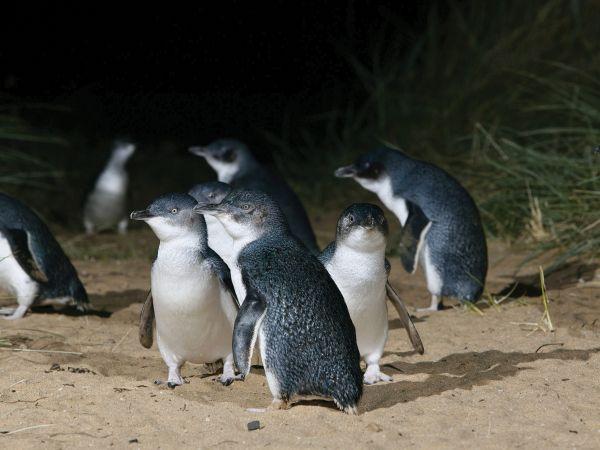 Cute little Korora Penguins -  Image courtesy of DunedinNZ