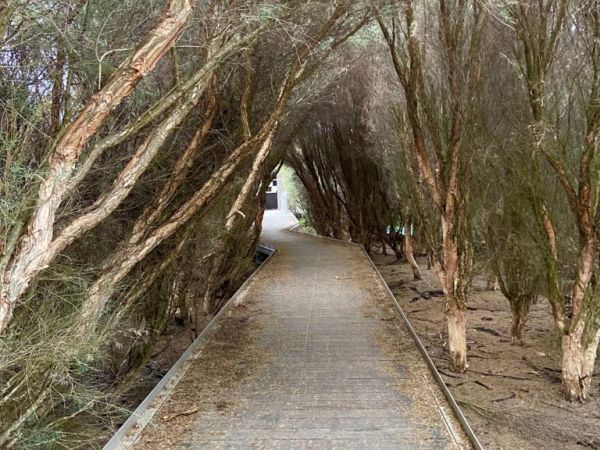 Walkway with Paperbark trees