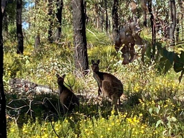 Kangaroos frolicking neaby