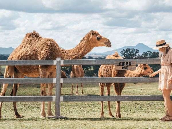 Summer Land Camels  - Image courtesy of Tourism and Events Queensland