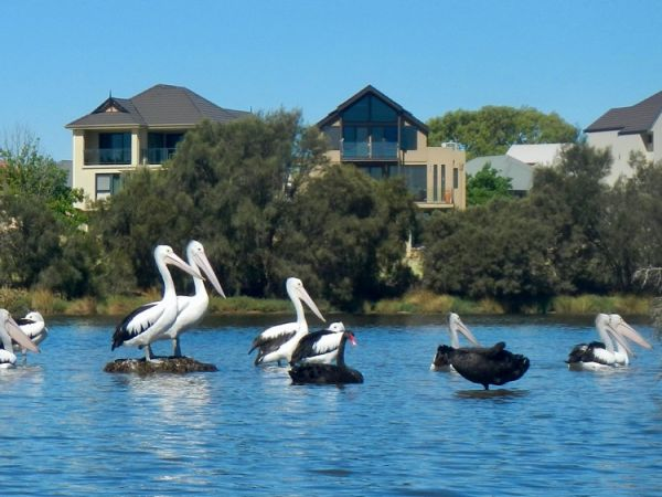 Perched Pelicans on the Swan