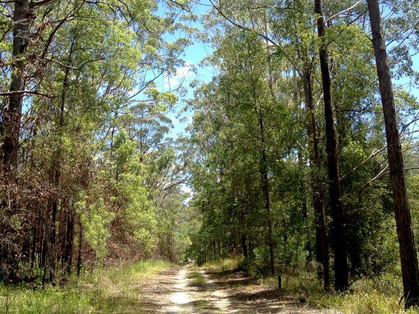 Walk trail through eucalypts