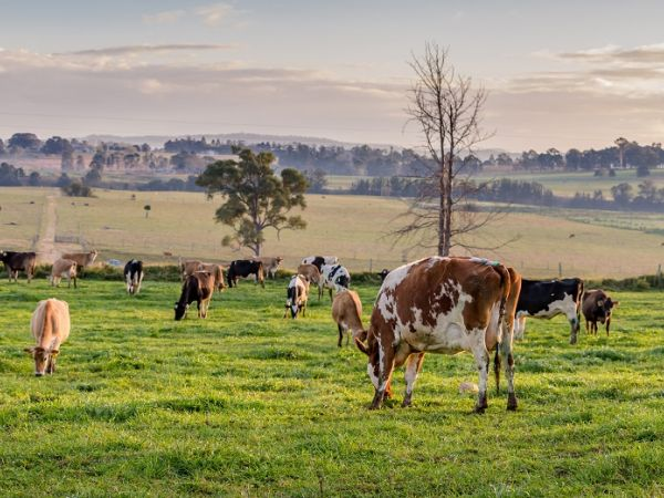 Pastures.. Image courtesy of Kenilworth Dairies