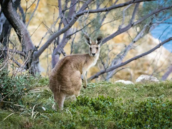 Kangaroo on Stradbroke - Image by Mark Galer
