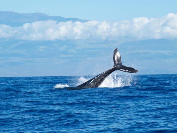 Humpback Whale Tail - Image by Abigail Lynn
