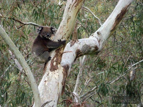 Koalas - Image courtesy of Walking SA