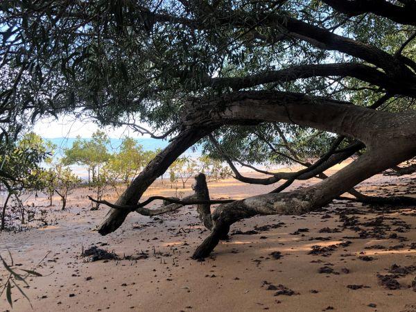 Mangroves on King Island
